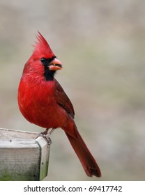 Beautiful red cardinal eating a sunflower seed at a bird feeder