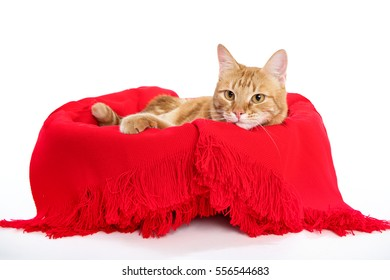 Beautiful red cat with ginger eyes posing while lying on a white background in a red plaid closeup