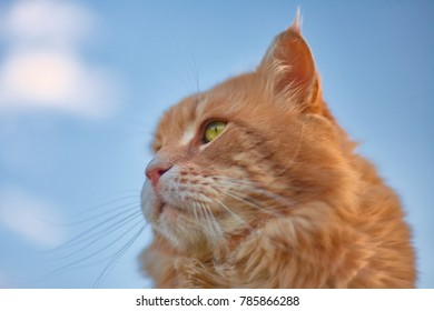 Beautiful Red Cat with Green Eyes on the Background of the Blue Sky.