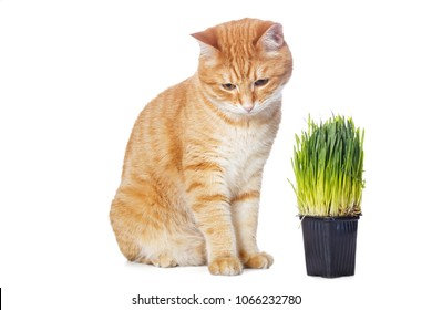 Beautiful red cat and green grass isolated on white background