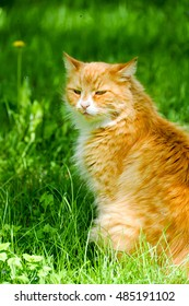 beautiful red Cat on summer background of green fresh grass
