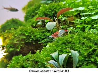 The beautiful red cherry shrimp, dwarf Shrimp spends a great deal of its time sitting on aquatic plants, Neocaridina davidi is a freshwater shrimp easy to care for in the home freshwater aquarium.