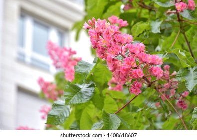 Beautiful red chestnut blossom with tiny tender flowers and green leaves background. Pink chestnut flower with selective focus. Cluster with red chestnut flowers blossoming in spring