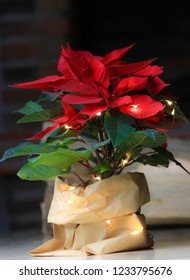 Beautiful red christmas flower poinsettia.