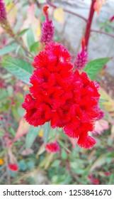 Beautiful red cockscomb flower
