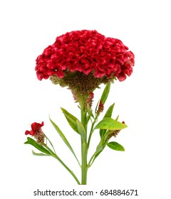 Beautiful Red cockscomb flower isolated on white background
