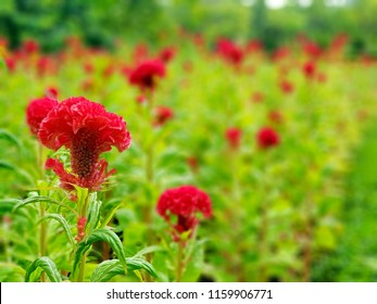 The beautiful red cockscomb flowers (Celosia cristata) in the garden, the flower looks like the head on a rooster(cock). they are usually brightly colored, a variety of colors are present in hybrids.