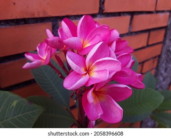 Beautiful red colour of Frangipani Flowers with a yellow tinge in the middle against brown bricks wall background