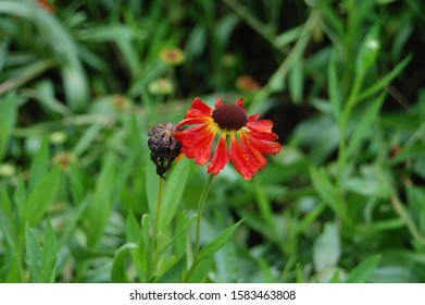 Beautiful red cosmos like looking living and dead flower