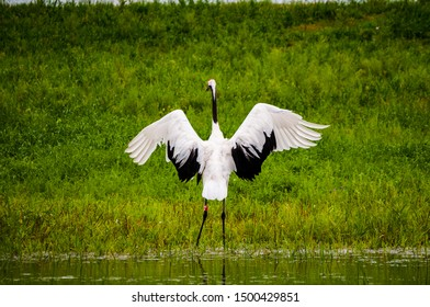 A beautiful red crowned crane ready to fly in the reserve of northern China