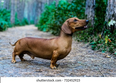 Beautiful red dachshund walks in a park amongst green trees outdoors.