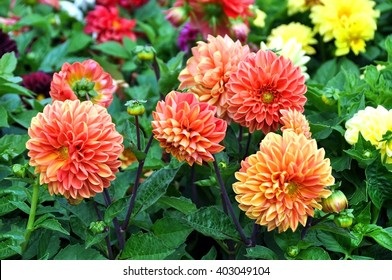 Beautiful red Dahlia