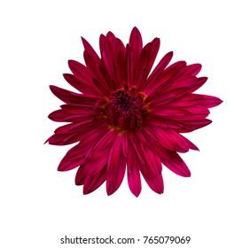 Beautiful red dahlia.