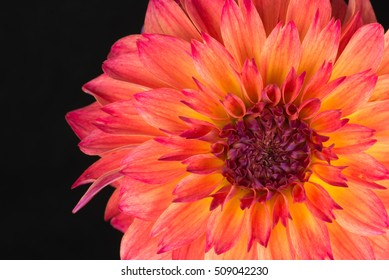 beautiful red dahlia isolated on black background