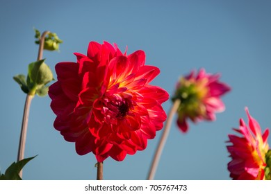 Beautiful red dahlia on a field of flowers