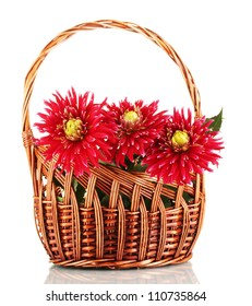 Beautiful red dahlias in basket isolated on white