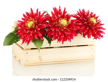 Beautiful red dahlias in wooden box isolated on white
