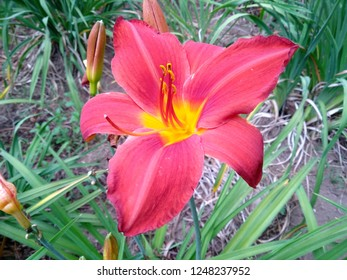 Beautiful red Daylily Hemerocallis flower blossoming in the garden. Flowers Daylily in the park or garden. Daylily flower that bloom in the botanical garden of Bedugul Bali, Indonesia. ( Lily flower )