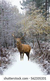 Beautiful red deer stag in snow covered Winter forest landscape