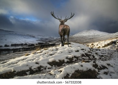 Beautiful red deer stag in snow covered mountain range Winter landscape