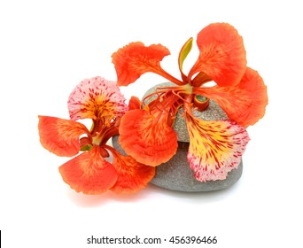beautiful red Delonix regia Flowers isolated on white background
