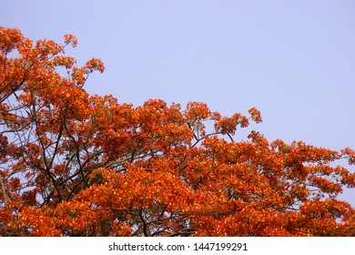 Beautiful Red Delonix regia (Gulmohar) flower in Bloom in summer.