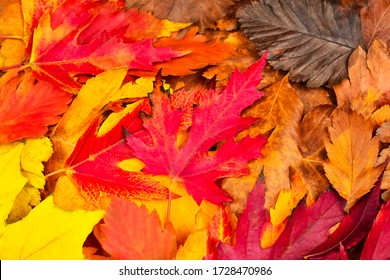 Beautiful red fall leaves. View from above. Autumn background The basis for the postcard.