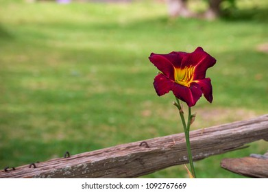 Beautiful red flower blooming with wooden fence