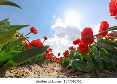 beautiful red flower field and sun