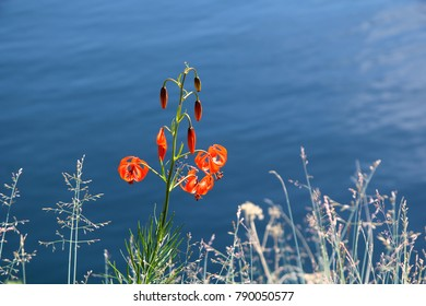 Beautiful red flower on background of water. Baikal