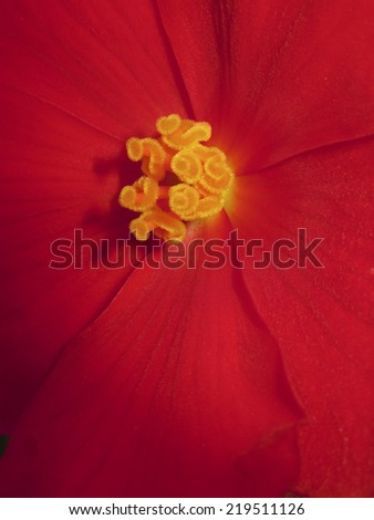 Beautiful Red Flower Red Petals Yellow Stock Photo Edit Now
