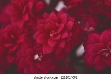 Beautiful red flowera