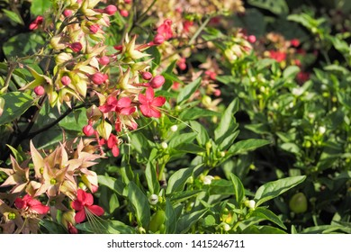 Beautiful Red Flowers Clerodendrum thomsoniae blossom on branches with green leaves background, common name is bleeding glory-bower, glory-bower, bagflower or bleeding-heart vine.