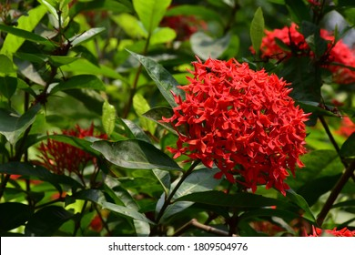 Beautiful red flowers with Green Leaves on Tree in A Garden.Ixora, also known as flame of the woods, jungle flame , West Indian jasmine, Red Bunga Soka , Asoka, King Ixora flower or red spike flower