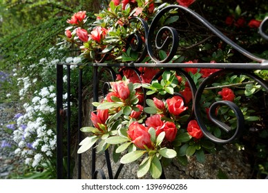 Beautiful red flowers growing on stone concrete wall, through black iron gate. Focus on the bright flowers under sun light in the front with blurry flora bush, green leaves in surrounding background.