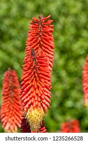 Beautiful red flowers in New Zealand. Red Hot Poker plant Kniphofia Uvaria also known as Tritoma or Torch Lily
