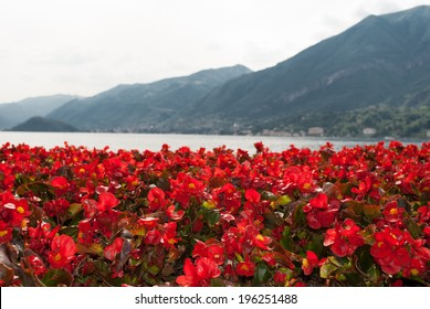 beautiful red flowers on the shore of Lake Como