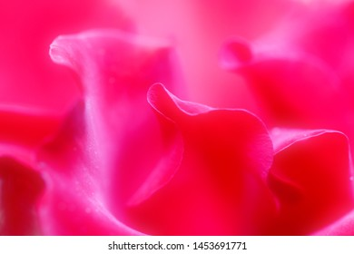 beautiful red flowers are photographed close-up. The petals of the rose
