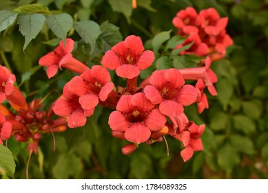 Beautiful red flowers of the trumpet vine or trumpet creeper Campsis radicans. Campsis Flamenco bright orange flowers winding over the fence in greenery. Chinese Trumpet Creeper branches