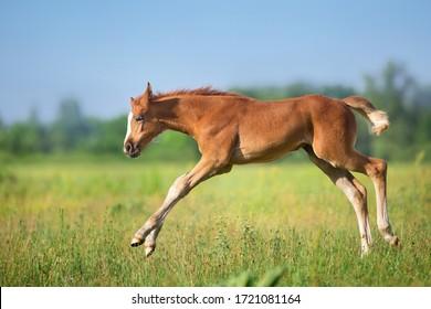 Beautiful red foal run and fun on spring green field