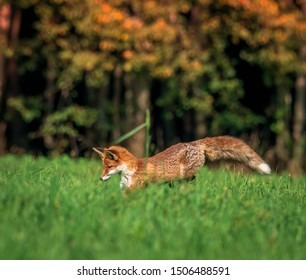 beautiful red fox in forest meadow hunting mice, autumnal forest in the background