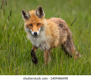 Beautiful Red Fox Vixen out hunting