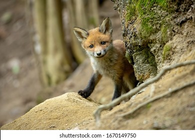 Beautiful red fox, vulpes vulpes, cub standing near tree and smiling in spring forest. Wild animal with positive emotions from front view with copy space.