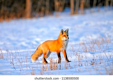 Beautiful Red Fox in winter, standing in snowcovered meadow