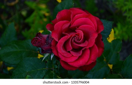 A beautiful red garden rose in small dew drops in the morning in summer