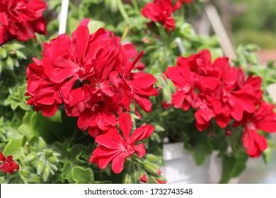 Beautiful red geranium flower in the garden. Red gum, ivy sardinia