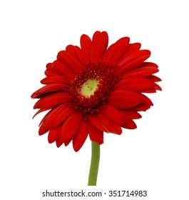 beautiful red Gerbera Daisy flower isolated on white background