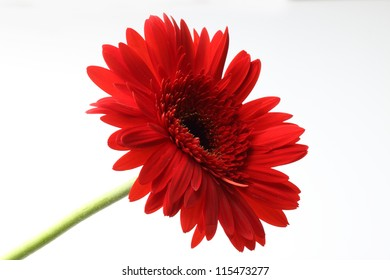 beautiful red gerbera isolated on white