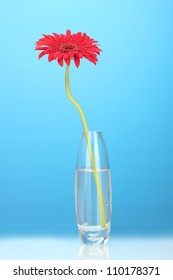 Beautiful red gerbera in vase on blue background close-up