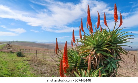 Beautiful Red and Green Aloe Trees in the Farmlands in South Africa